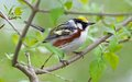 Chestnut sided warbler is locally common in brush lands orchards and along roadsides Stock Photography