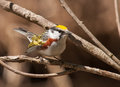 Chestnut sided warbler a male flashes its colorful plumage as it forages in the branches of a tree in a wisconsin forest Royalty Free Stock Photo