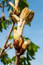 Chestnut spring