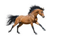 Chestnut stallion in motion on white background Stock Photo