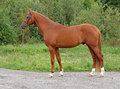 A chestnut stallion of sporting breed is in correct bar on background green vegetation Royalty Free Stock Images