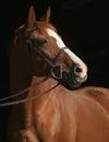 Chestnut thoroughbred mare headshot in hunter bridle Stock Photos