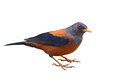 Chestnut Thrush Bird