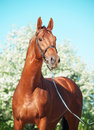 Chestnut trakehner stallion sunny day Royalty Free Stock Photography