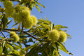 Chestnut tree Royalty Free Stock Photo