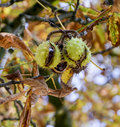 Chestnut tree in the authumn colours Royalty Free Stock Photography