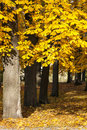 Chestnut tree in autumn with golden leaves thin forest a park at Royalty Free Stock Image