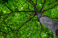 Chestnut tree from below Royalty Free Stock Photo