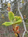 Chestnut tree blooms in spring lithuania Royalty Free Stock Images