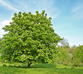 Chestnut tree with blossom Stock Images