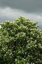 Chestnut tree in blossom against dramatic stormy sky Royalty Free Stock Images