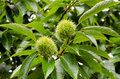 Chestnut tree branch of a with it s fruits Royalty Free Stock Photo