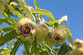 Chestnut tree chestnuts are opening from the shells on the Royalty Free Stock Images