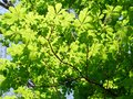 Chestnut tree foliage fresh spring colors Stock Images