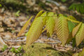 Chestnut tree sapling leaves at springtime yellow orange and green seedling in the Stock Photography