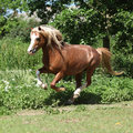 Chestnut welsh mountain pony stallion running nice on pasture in summer Royalty Free Stock Photography