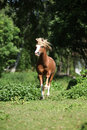 Chestnut welsh mountain pony stallion running nice on pasture in summer Royalty Free Stock Images