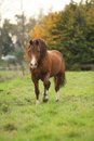 Chestnut welsh pony in autumn on pasturage Royalty Free Stock Images