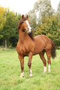 Chestnut welsh pony stallion in autumn standing on pasturage Royalty Free Stock Photos