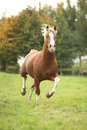 Chestnut welsh pony stallion with blond hair running on pasturage Royalty Free Stock Image