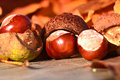Chestnuts in autumn beautiful colors Stock Photos