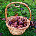 Chestnuts in basket Stock Image