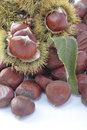 Chestnuts with their outward prickly rind foreground of some Royalty Free Stock Images