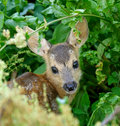 Chevrotain of Roedeer Royalty Free Stock Photography