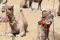 Chewing dromedary camel in nomadic camp,India Stock Photos