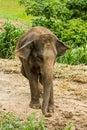 Chiangmai thaïlandais thaïlande d éléphant Photos stock