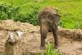 Chiangmai thaïlandais thaïlande d éléphant Photos libres de droits