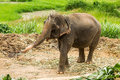 Chiangmai thaïlandais thaïlande d éléphant Photographie stock