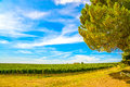 Chianti region vineyard pine tree and farm tuscany italy europe Stock Image