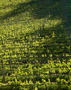 Chianti vineyard with oblique light in a gentle slope and shadows of the near trees Royalty Free Stock Photography