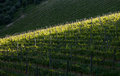 Chianti vineyard with oblique light in a gentle slope and shadows of the near trees Royalty Free Stock Images