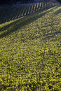 Chianti vineyard with oblique light in a gentle slope and shadows of the near trees Stock Image