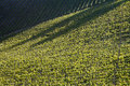 Chianti vineyard with oblique light in a gentle slope and shadows of the near trees Stock Photography