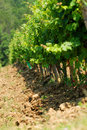 Chianti vineyard in Tuscany Stock Photography
