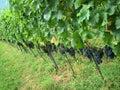 Chianti vineyard Tuscany Italy Royalty Free Stock Photos