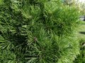 Chic background completely filled with fluffy branches of evergreen pine. Close-up photo
