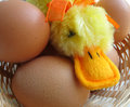 Chick cloth orange beak eggs Royalty Free Stock Image