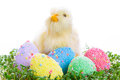 Chick colorful easter eggs garden cress Royalty Free Stock Photos