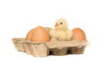 Chick between egg in egg carton Royalty Free Stock Photo