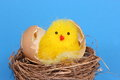 Chick in egg shell Stock Photo
