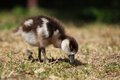 Chick of an egyptian goose alopochen aegyptiacus looking for food Stock Photos