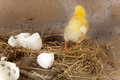 Chick escapes from egg young baby escaping its eggshell Stock Photos