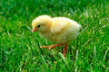 Chick on grass Royalty Free Stock Image