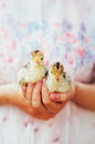 Chick on hand isolated on white background. Baby chicken in hand Royalty Free Stock Photo