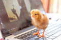 Chick on laptop keyboard, cooperation technology environmen Royalty Free Stock Photo