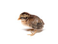 Chick. Little cute chick on white background (soft focus). Sleepy baby Chicken on white background Royalty Free Stock Photo